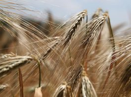 Transport ziaren zbóż w rolnictwie polskim – pomocne maszyny i urządzenia rolnicze od POM Augustów